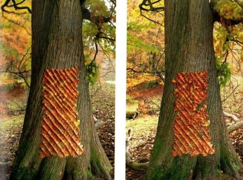 andy goldsworthy  1998, מנסה לדבר עם העצים בשפה שלהם. כאן זה טלאי מעלי עץ אגוז שקיפל ונעץ בעזרת חוחים. כמעט כל העבודות שלו מתכלות עם הזמן.