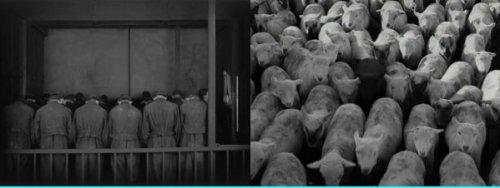 """עדרים - משמאל, פועלי """"מטרופוליס"""" הכנועים וחסרי היחוד יורדים לבית החרושת. מימין, רגע לפני שפועלי """"זמנים מודרניים"""" נכנסים לבית החרושת צ'פלין מצלם עדר חזירים מובלים לשחיטה (והמקשר יקשר)."""